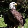 A - Proud Eagle
