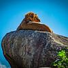 P - Lion King