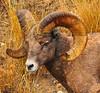 N - Bighorn Sheep