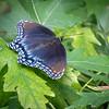 N - Swallowtail