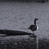nbw-fowl solitude