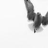 nbw-seagull