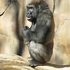 nc-gorilla #1