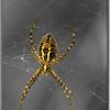 cc-sunrise spider-