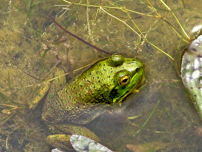 nc-froggy-