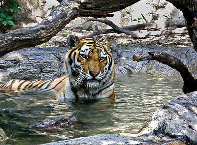 nc-tiger in water-