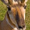 oc-Pronghorn Stare-