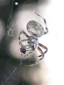 oc-spider snack-