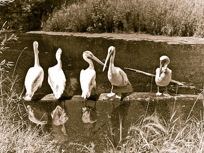 abw-old time pelicans-