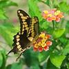 -nc-giant swallowtail-