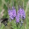 -nc-black swallowtail-
