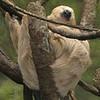 -nc-sleeping sloth-