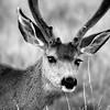 nm-Mule Deer