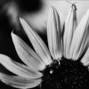 nm-Sunflower