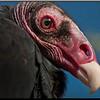 nc-Vulture