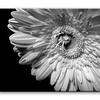 nm-Gerbera Daisy