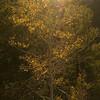 oc-Sunrise Tree