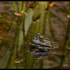 nc-Frog Reflection