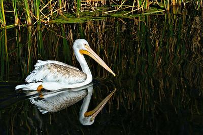 ac-Pelican