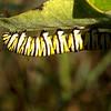 nc-Baby Monarch