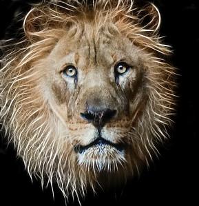 ac-Lion Eyes