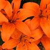 nc-Orange