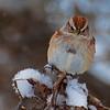 nc-American Tree Sparrow