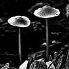 nm-Little Bitty Mushrooms