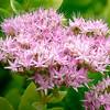ic-Butterfly Bush