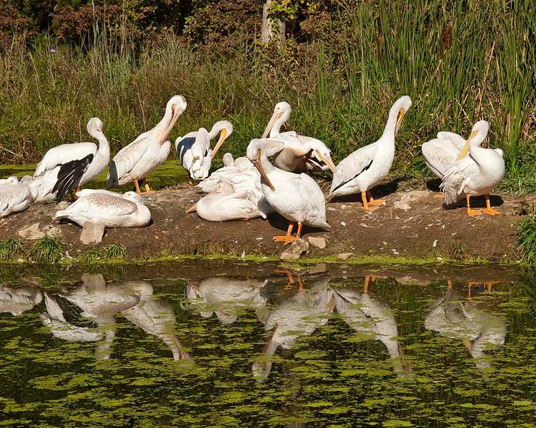 nc-Preening Pelicans