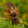 ac-Wasp
