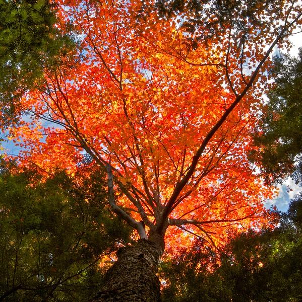 nc-Backlit Fall Leaves