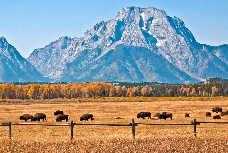 nc-Teton Buffalo