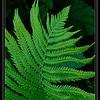 nc-Fern Leaf