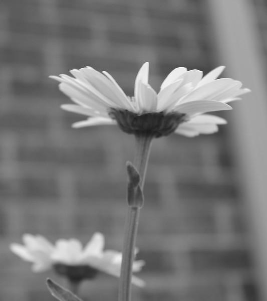 am-Daisy