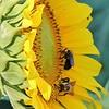 nc-Bumblebees