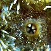 ac-Urchin Teeth