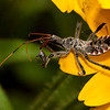 ac-Assassin Bug And Prey