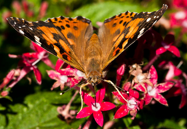 ac-American Painted Lady