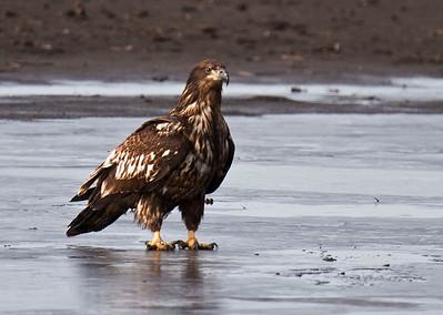 nc-Immature Eagle