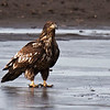 nc-Immature Eagle