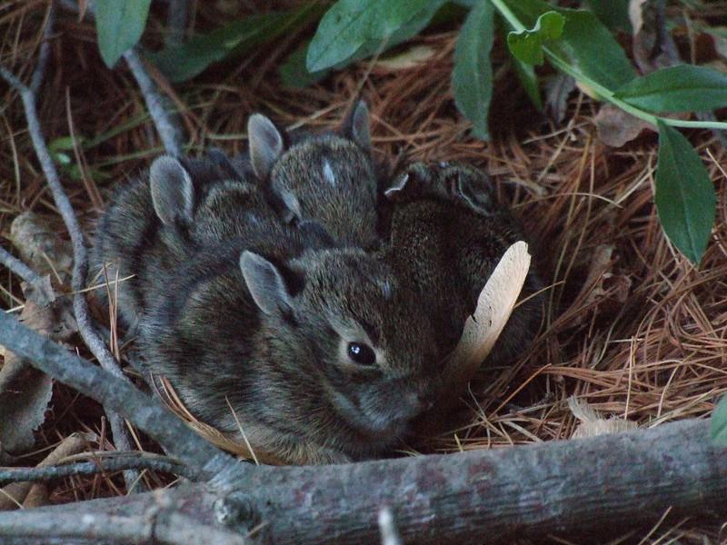nc-Bunnies