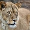 nc-Lioness