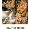 oc-Japanese Beetle