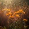 nc-Sunflower Sunset