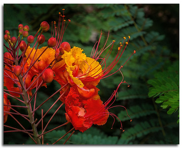 nc-Mexican Bird Of Paradise