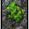 nc-Maple Leaves 2nd Don Loeske.jpg