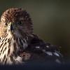 nc-Sparrow Muncher