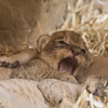 pc-New Lion Cubs