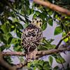 nc-Curious Hawk